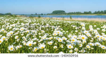 Plenty Of Blooming Common Daisies At The Banks Of A Dutch River In The Spring Season.