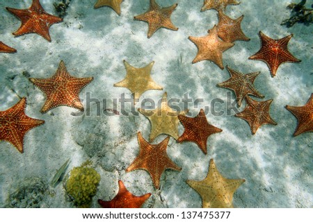 Plenty of cushion starfish on a sandy ocean floor Atlantic Bahamas islands