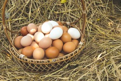 Plenty of organic chicken eggs in a wicker basket resting on a straw. is a product from hens that are raised naturally countryside or free range style.