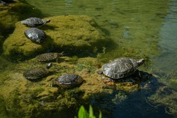 Plenty of pond slider water turtle (Trachemys scripta) are basking in the sun on rocks in a pond.
