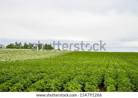 Plenty of potato flower with cloudy sky