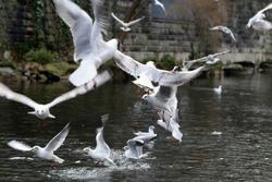 Plenty of seagulls on a river located in Zürich, Switzerland. Seagulls are white birds common in cities in Europe. They can fly and swim, and can cause issues to people. Color image.