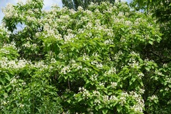Plenty of white flowers in the leafage of catalpa tree in June