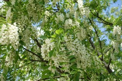 Plenty of white flowers in the leafage of Robinia pseudoacacia in mid May