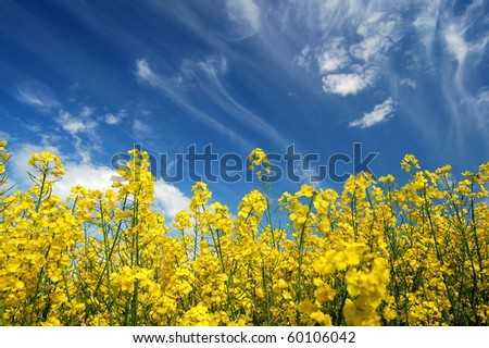 Plenty of yellow rapeseed flowers against the sky in the springtime