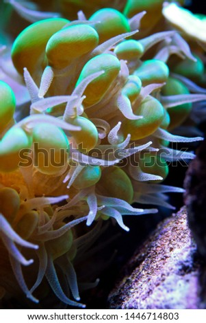 """Plerogyra sinuosa is a species of """"bubble coral"""". It has grape-sized bubbles which increase their surface area according to the amount of light available: they are larger during the day, bu"""