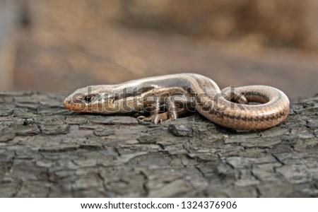 Plestiodon skiltonianus interparietalis western Coronado skink lizard