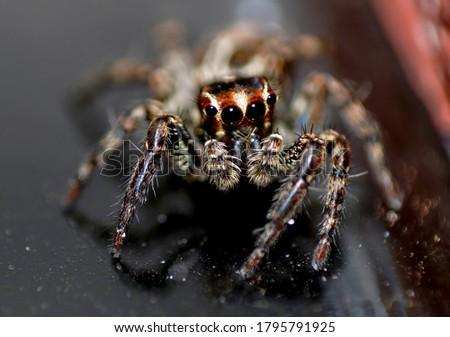 Plexippus paykulli. Pantropical jumping spider. Stock photo ©