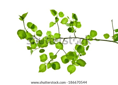 Pliant branch with green leaves isolated on white