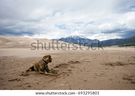 Plott hound enjoying Great Sand Dunes National Park. #693295801