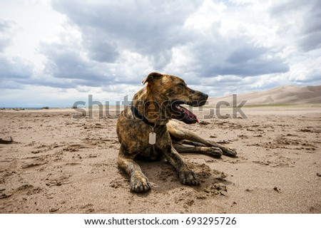 Plott Hound Laying in the Sand #693295726
