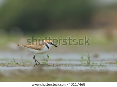 Plover a water bird small in size but a beautiful to see. assuming its breeding colors.