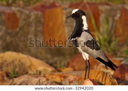 Plover bird standing near its nest in the late afternoon - stock photo