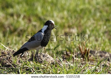 Plover bird watching over its young and talking - stock photo