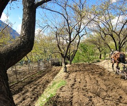 Plowing garden with large trees. Springtime plowing the field. in the distance, the farmer and the horse plow the farmers field,