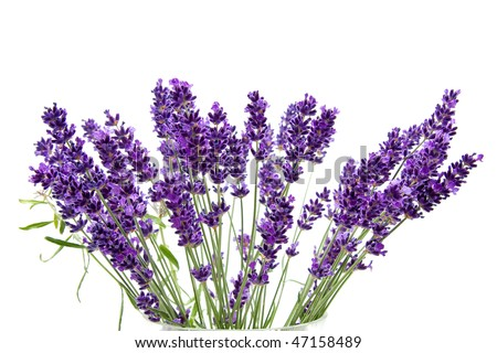 Plucked fresh lavender in closeup over white background