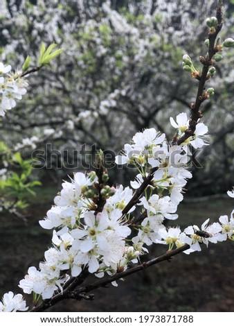 Plum blossom at Moc Chau in spring festival Zdjęcia stock ©
