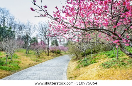Plum Blossom in early spring. Located in Plum Blossom Hill, Purple Mountain of Nanjing City, Jiangsu Province, China.