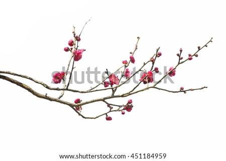 Plum Blossom Isolated on White Background. Stock photo ©