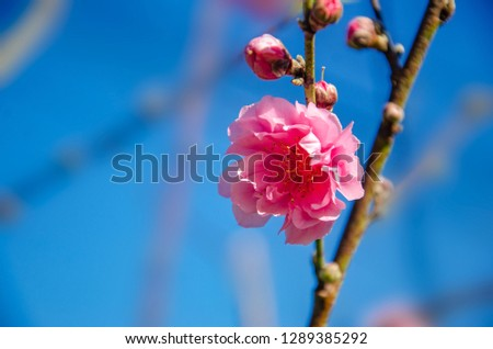 Plum blossom Pink Blossoming blue background