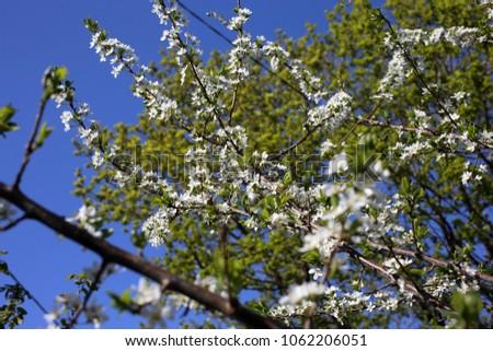 Plum blossom. Sakura #1062206051