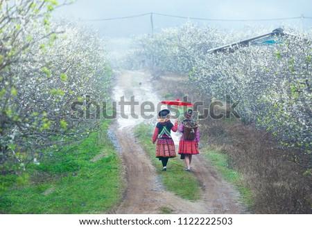 Plum blossom season in Moc Chau, Son La, Vietnam. Zdjęcia stock ©