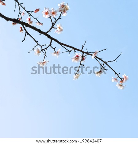 Plum blossoms in early spring. Located in Zijin Mountain Scenic Area, Nanjing City, Jiangsu Province, China.