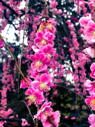 Plum Blossoms Pink and White from Japan, on rain season, nostalgic mist, vivid pink, wood and white petals contrast, humidity, Japanese heritage
