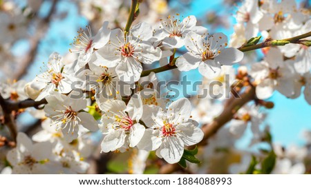 Plum blossoms. White plum flowers on a background of light blue sky Stock photo ©