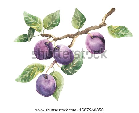Plum branch. A branch of a plum tree with fruits and green leaves on a white background.