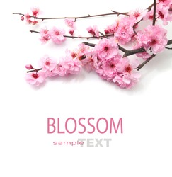 Plum Flowers Blossom on white background good for chinese new year use