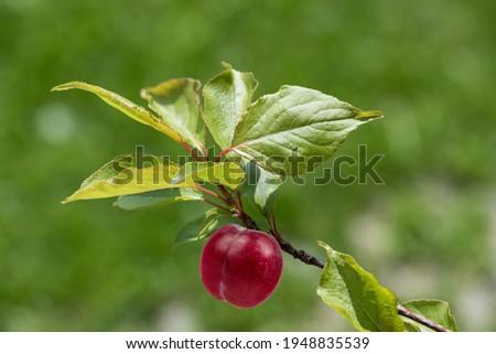 plum n the garden summer Foto stock ©