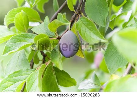 Plum on a tree