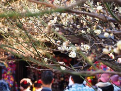 Plum tree at Setsubun festival in Kitano tenmangu shrine.