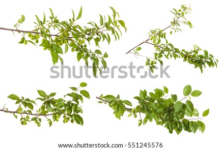 plum-tree branch with green leaves and berries. Isolated on white background #551245576