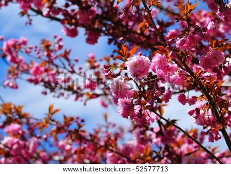 Plum tree foliage with shallow depth of field