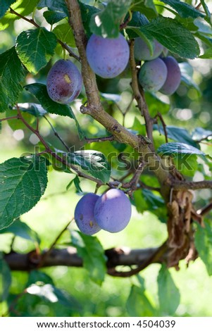 Plum tree in the rays of summer sun