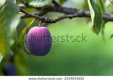 Plum tree. Ripe plums on the tree. Plum close up. Ecological clean plum in its natural environment.