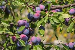 Plum tree with juicy fruits on sunset light