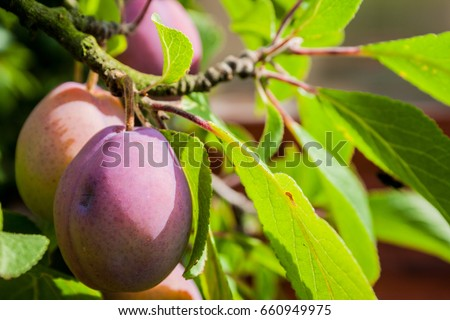 Plum tree with juicy fruits on sunset light #660949975