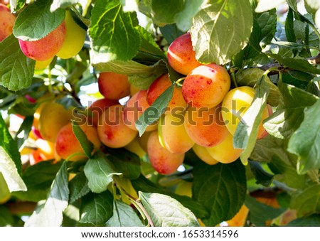 Plum tree with ripe plum fruit. Branches with juicy fruits on sunset light. Close up of the plums ripe on branch. Organic plums tree in an orchard. Plum branch tree.