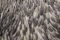 Plumage of an emu. Close up of brown plumage as a background.