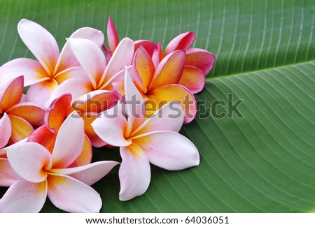 Plumeria flowers and banana leaf isolated