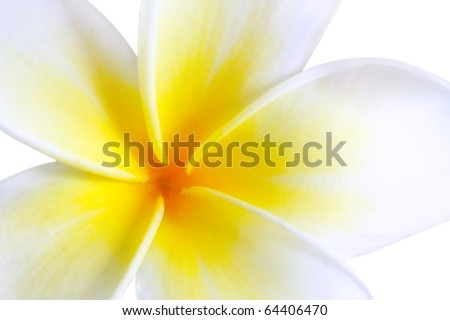 Plumeria (frangipani), in close-up.  Glorious white and golden tropical flower.
