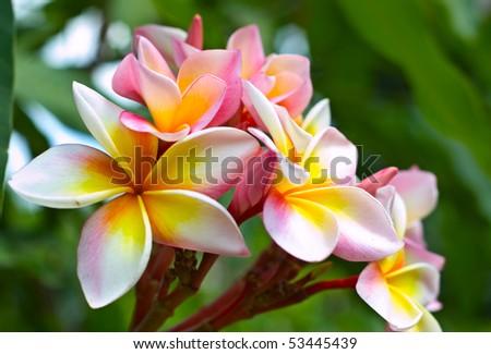 Plumeria (frangipani) on green background. - stock photo