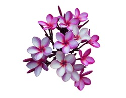 Plumeria, Frangipani, Temple tree,  Close up beautiful pink-purple plumeria flowers bunch isolated on white background with clipping path. Close up tropical flowers.