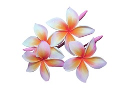 Plumeria, Frangipani, Temple tree, Graveyard Tree, Frangipani flowers in closeup, Orange  bunch of Plumeria flowers isolated on white background. with clipping path