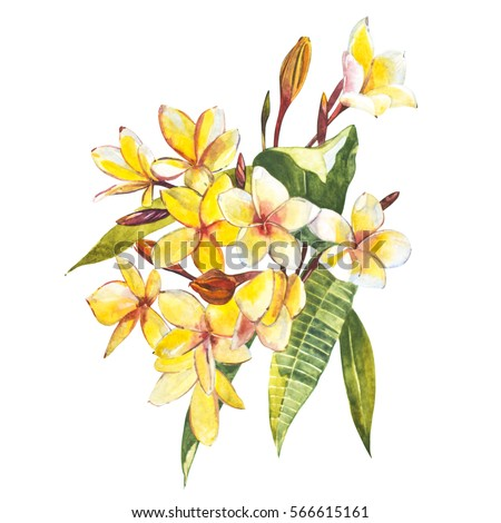 Plumeria isolated on white background. Tropical set, Watercolor sketch object