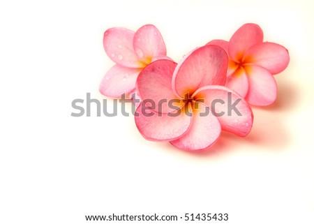 Plumeria on a white background