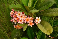 Plumeria rubra The flowers give off their fragrance in the morning  This fragrance is similar to that of rose, citrus, and cinnamon. The colors range from the common pink to white with shades of yello